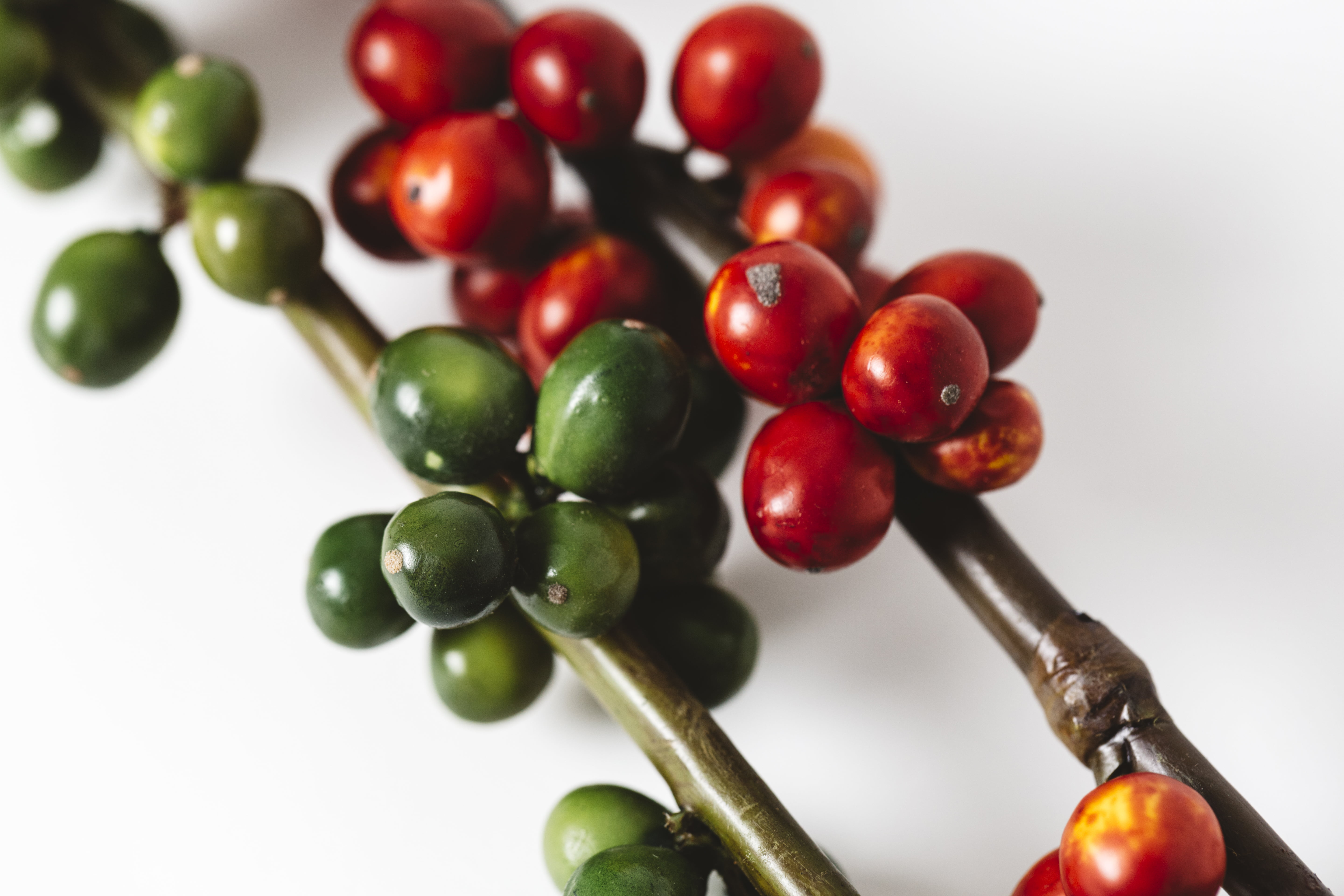 Picked_coffee_beans